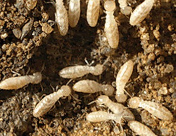 Termite Insecticide Archives Redwood Chemical