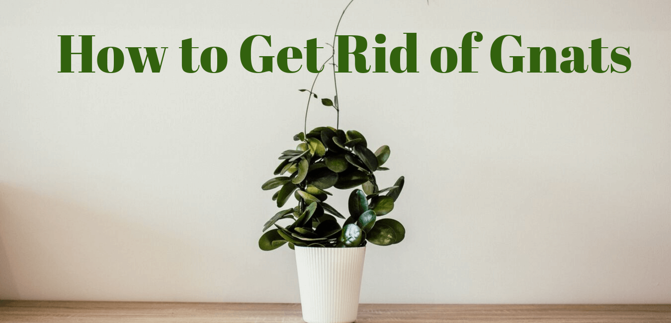 How To Get Rid Of Gnats Redwood Chemical